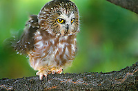 564100005 a captive wildlife rescue northern saw-whet owl aegolius acadicus rousts or ruffles its feathers while perched on the limb of a pine tree<br /> raptor is a wildlife rescue and cannot be released because it cannot fly