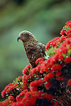 Kea or mountain parrot, New Zealand