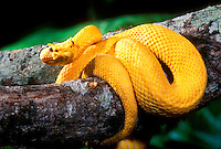 489184002 a bright yellow color phase of a captive eyelash viper bothreichis schlegalii a South American pit viper coiled around a large tree limb watching for prey
