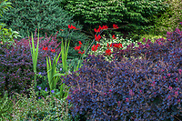 Cotinus coggygria 'Royal Purple' with red flowering Crocosmia 'Lucifer' and Berberis in Seattle Washington, Stacie Crooks design