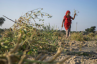 Guar farmer Jhuma Jangu, 65, harvests her crop in her field in Hameira village, Bikaner, Rajasthan, India. Non-Profit Organisation Technoserve works with Guar farmers in Bikaner to provide technical farming knowledge to her, improving their crop yield through good agricultural practices. Photograph by Suzanne Lee for Technoserve