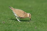 Cream-coloured Courser - 1st autumn - Cursorius cursor