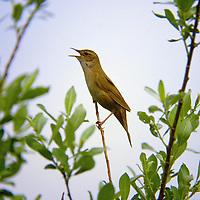 Rohrschwirl, singend, Rohr-Schwirl, Locustella luscinioides, Savi's warbler, La Locustelle luscinioïde