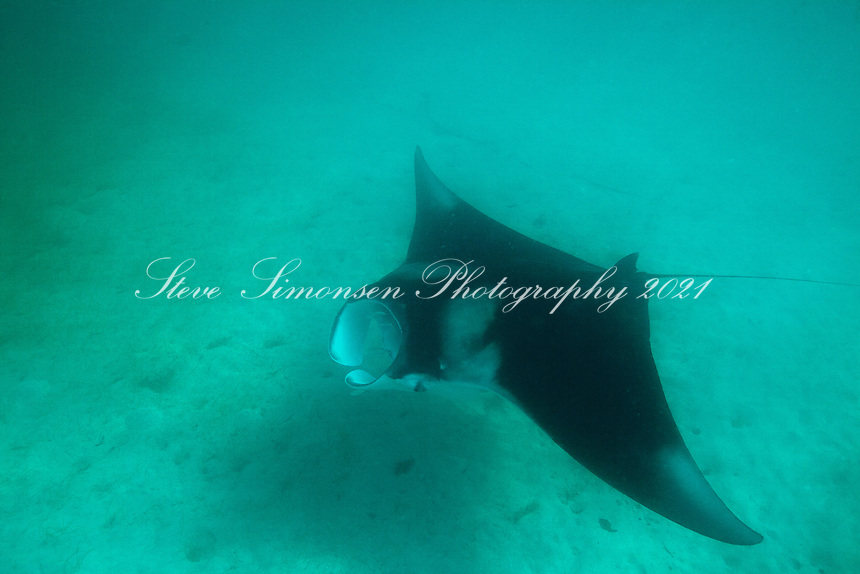 Manta (Manta birostris).Virgin Islands National Park.St. John.U.S. Virgin Islands