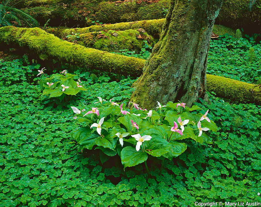 Vashon Island, WA          <br /> Ground cover of redwood sorrel (Oxalis oregana) with flowering trillium (T. ovatum)  and mossy log on forest floor in Green Valley Creek
