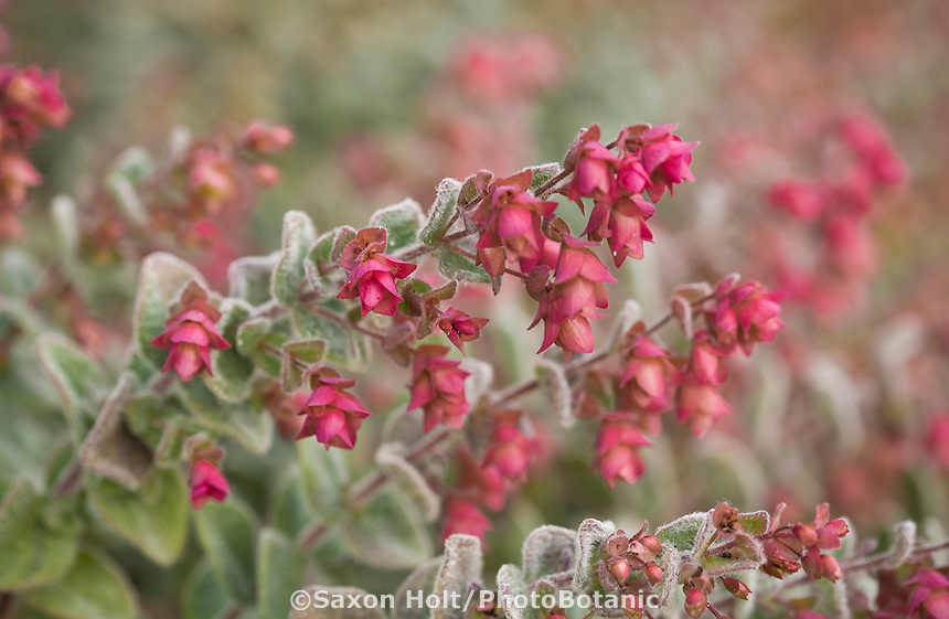 Oregano 'Teddy' Origanum dictamnus red flower bracts,.Deer resistant aromatic ornamental herb at Cambria Pines Lodge garden