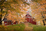 Fall maples line a path to a red barn in Peacham, Northeast Kingdom, VT, USA