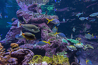 Europe/France/Normandie/Basse-Normandie/50/Cherbourg:  La Cit&eacute; de la Mer, Parc scientifique et ludique<br /> L'aquarium abyssal: Dans ce grand bassin repr&eacute;sentant  un atoll corallien &eacute;voluent plus de 3500 poissons: Cocher solitaire -Poisson papillon //  France, Manche, Cotentin, Cherbourg, museum Cite de la Mer (city of the sea),  Aquarium