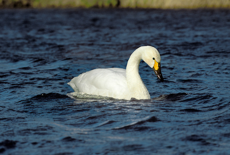 Bewick's Swan Cygnus columbianus L 115-125cm. Our smallest swan. Usually seen in medium-sized flocks comprising family groups. Similar to larger Whooper but separated by noting relatively shorter neck and different bill pattern. Sexes are similar. Adult has mainly pure white plumage. Bill is wedge-shaped but proportionately shorter than Whooper; yellow colour typically does not extend beyond start of nostrils and yellow patch is usually rounded, not triangular. Juvenile has grubby buffish grey plumage and dark-tipped pink bill Voice Utters various honking and bugling calls. Status Winter visitor, 10,000+ birds found at traditional sites: flooded grassland, marshy meadows and occasionally arable farmland.
