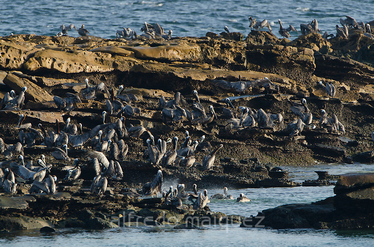 Sea shore crowded with Brown Pelicans (Pelecanus occidentalis carolinensis). Pacheca Island, Las Perlas Archipelago, Panama, Central America.