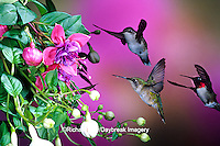 01162-069.15 Ruby-throated Hummingbirds (Archilochus colubris) females & male at Hybrid Fuchsia (Fuchsia)  Shelby Co.  IL