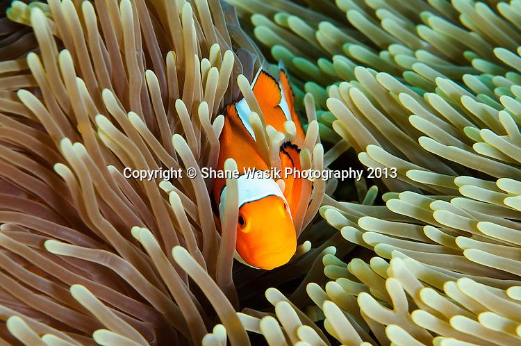 Anemone fish on Siddhartha house reef