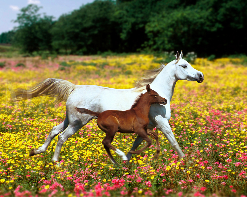Arabian mare with foal galloping across field of wildflowers.