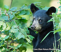 Spring Black Bear cub (Ursus americanus) exploring the bushes and keeping alert - notice those ears.