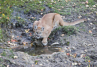 A wild mountain lion photographed in the Wasatch Mountains of Utah.  This cat came to drink at a natural spring just after the sun set over the mountains.  I was photographing from a tree stand.<br />