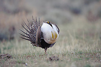 Adult male Greater Sage-Grouse (Centrocercus urophasianus) strutting on a lek. Freemont County, Wyoming. April.
