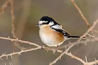 Masked Shrike - Lanius nubicus