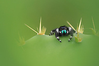 Daring Jumping Spider (Phidippus audax), adult on Texas Prickly Pear Cactus (Opuntia lindheimeri), Fennessey Ranch, Refugio, Coastal Bend, Texas, USA