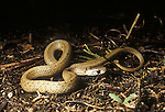 Northern brown snake, Storeria dekayi