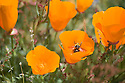 A black and yellow bee flies out of an orange California poppy wildflower. Photo taken at Russian Ridge Open Space,  San Francisco Bay Area, California.