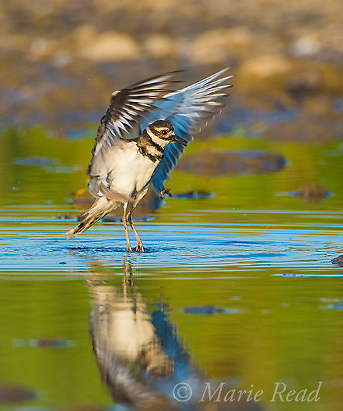 Killdeer (Charadrius vociferus), flapping wings after bathing, Lansing, New York, USA