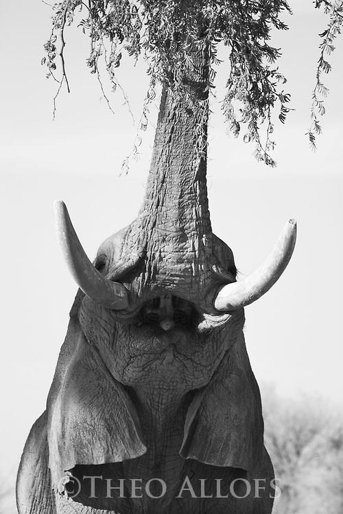 African elephant feeding on Acacia tree, Okavango Delta, Moremi Game Reserve, Botswana