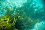 San Clemente Island, Channel Islands, California; long ribbons of Feather Boa Kelp (Egregia menziesii) grow across the sandy ocean bottom