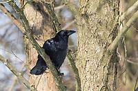 Kolkrabe, Kolk-Rabe, Kolk, Rabe, Corvus corax, common raven, northern raven, raven, Le Grand Corbeau
