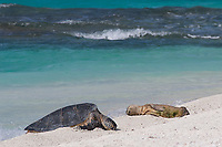 a green sea turtle, Chelonia mydas, basks near an emaciated juvenile Hawaiian monk seal, Neomonachus schauinslandi, French Frigate Shoals, Papahanaumokuakea Marine National Monument, Northwest Hawaiian Islands, USA ( Central Pacific Ocean )