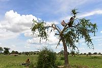 CHAD, Guéra, Bitkine, women cut tree to use branches and leaves as animal fooder and firewood / TSCHAD , Guéra, Bitkine, Dorf Tchelmé, Frauen schneiden Aeste und Zweige mit Blaettern zur Nutzung als Tierfutter und Feuerholz von einem Baum