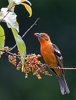 The flame-colored tanager is one of the more colorful denizens of the central highlands.
