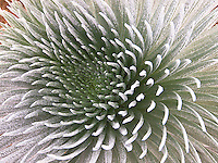 A close-up view of a silversword plant on the peak of Haleakala, Maui.