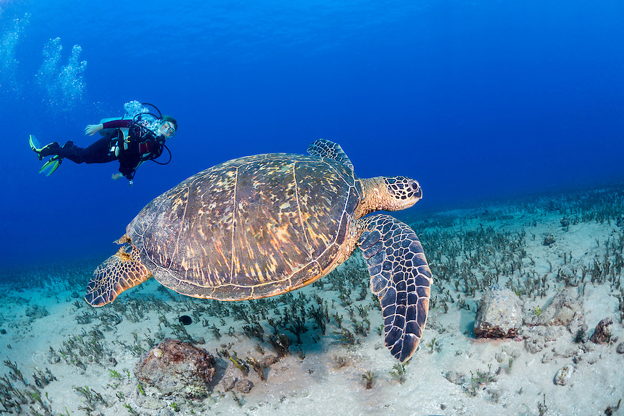 Twelve year old junior certified scuba diver Sean Fleetham (MR) gets a good look at a green sea turtle, Chelonia mydas, an endangered species and a common sight around Hawaii.