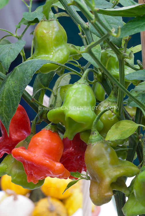 Pepper 'Friar's Hat' aka Chapeu de Frade aka Bishop's Crown Joker's Hat, Christmas Bell, Balloon, Pimenta Cambuci, Campane, Ubatuba Cambuci, Aji Flor, vegetables Capsicum baccatum. Typical Heat Rating in Scovilles 5000 - 15000 growing