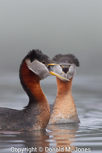 Red-neck Grebe (Podiceps grisegena)