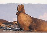 FB-S176   Bull elephant seal at Ano Nuevo State Park