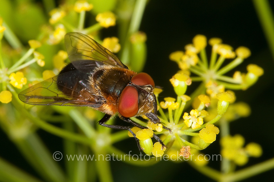 Raupenfliege, Wanzenfliege, Phasia hemiptera, Alophora hemiptera, Raupenfliegen, Schmarotzerfliegen, Tachinidae, tachinids, parasitic flies