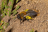 Clarke's Mining-bee - Andrena clarkella.  Searching for place to deposit its sallow pollen on which to lay an egg.
