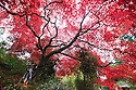 30/10/16<br /> <br /> Dressed as a witch, Tabitha Lebacq (3), poses for a photo under the spooky tree.<br /> <br /> <br /> An acer palmatum 'rubrum' turns a vibrant blood-red colour just in time for Halloween. This is just one of many stunning trees that are putting on a spectacular autumn display in the Chinese Garden at Biddulph Grange near Stoke on Trent, Staffordshire. Gardeners at the National Trust property are saying the frost-free autumn may have helped to make this one of the most colourful seasons in many years.<br /> <br /> <br /> All Rights Reserved F Stop Press Ltd. +44 (0)1773 550665