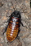 Hissing Cockroach, Gromphadorrhina portentosa, Madagascar,