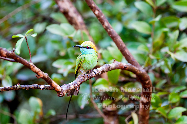 Green bee-eater (Merops orientalis) (sometimes little green bee-eater) is a near passerine bird in the bee-eater family. Bundala National Park, Sri Lanka.