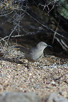 Curve-billed Thrasher looks for insects to feed on in southern Arizona.
