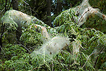 Adult moth of forest tent caterpillar Malacosoma disstria<br />