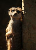 Meerkat at the San Diego Zoo.