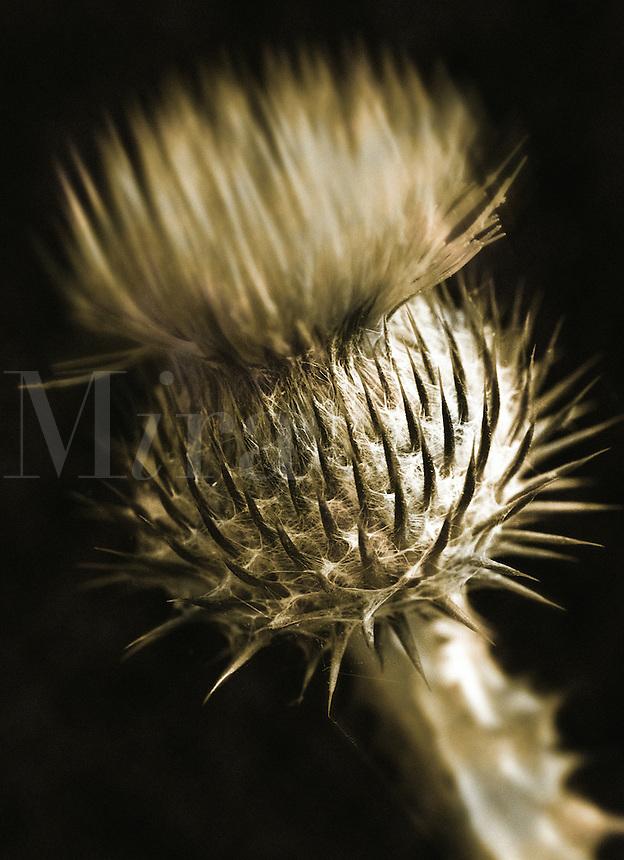 Scottish Thistle, Onopordum Acanthium, close-up