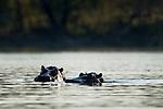 Common Hippopotamus (Hippopotamus amphibius) pair, Kafue River, Kafue National Park, Zambia