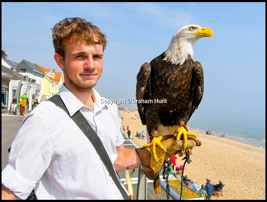 BNPS.co.uk (01202 558833)<br /> Pic: Graham Hunt/BNPS<br /> <br /> Winnie the Bald Eagle with her handler Kyle Smaldon from Xtreme Falconry near Dorchester. <br /> <br /> The Seagulls have landed...<br /> <br /> Lyme Regis council have come up with a cunning plan to rid the Dorset seaside town of its seagull menace this Easter - they've recruited two huge bald eagles to patrol the genteel resort.<br /> <br /> Tourism bosses fear over aggressive seagulls are scaring away visitors and have hired the two fearsome birds of prey to patrol the beaches and promenades this Easter.<br /> <br /> Like many coastal resorts, Lyme Regis in Dorset has a longstanding problem with angry gulls attacking tourists and pinching their chips and ice creams.<br /> <br /> Initial reports after the first deployment of eagles Winnie and Kojak yesterday suggest that the Seagull's are now keeping their distance.