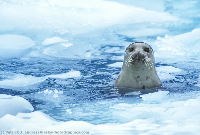 Harbor seal pokes head out of the floating  ice in Prince William Sound, Alaska