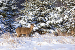 White-tailed doe standing in the winter snow.
