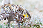 Male sharp-tailed grouse dancing on a lek.